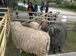alte Schafsrassen