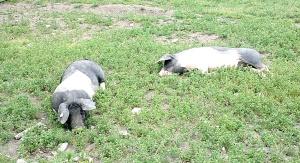 Schweine im Museum