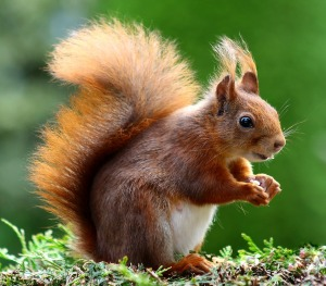 squirrel-493790_1280