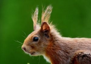 squirrel-493793_1280