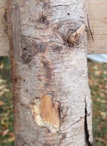 schimpfendes Baumgesicht