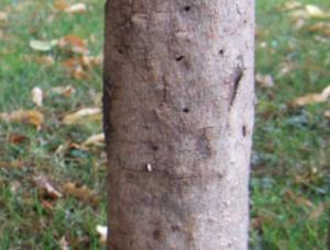 Baumgesicht
