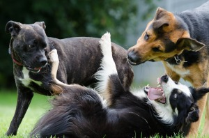 border-collie-672696_1920